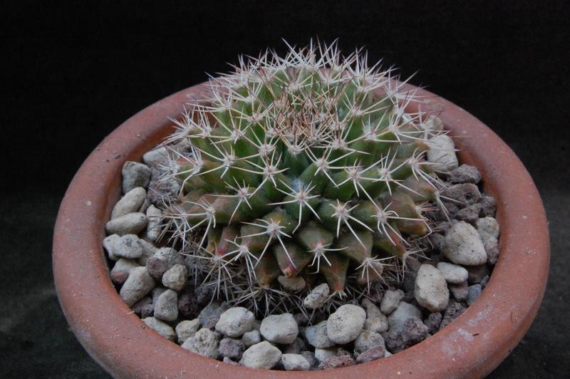 Mammillaria petrophila 8135-210