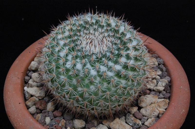 Mammillaria saetigera 8180-211