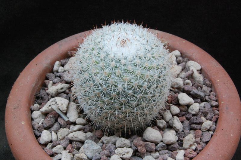 Mammillaria albilanata 8212-210