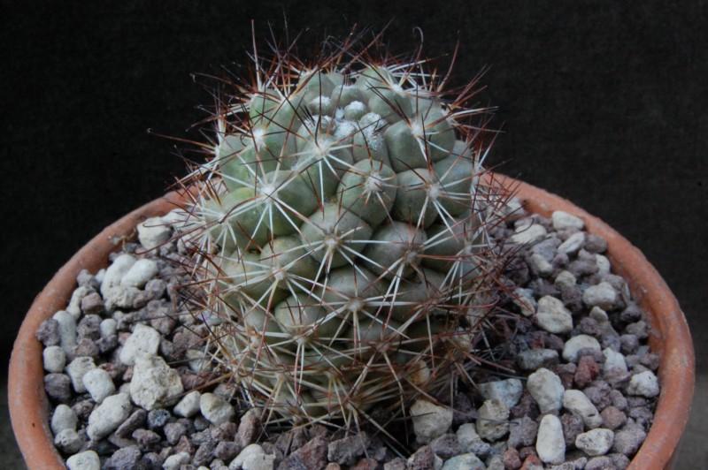 Mammillaria schumannii 8251-210