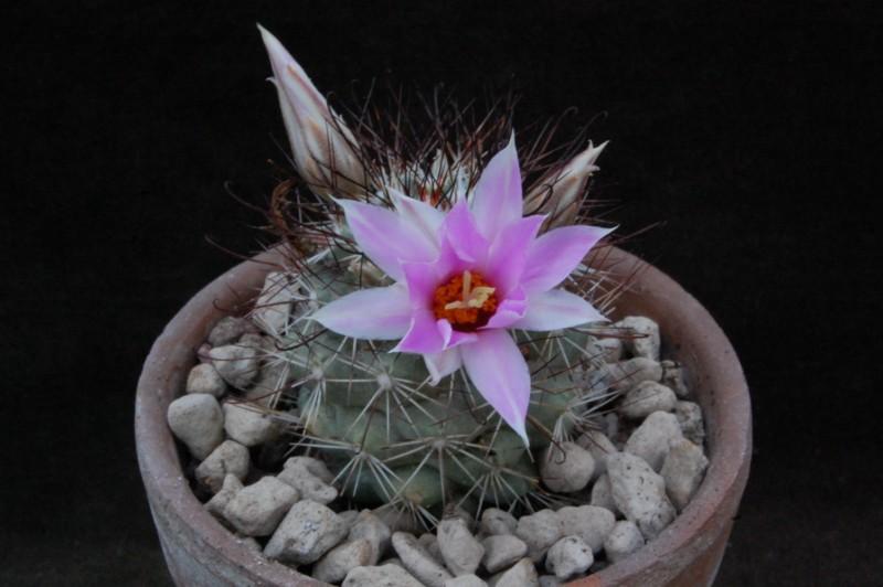 Mammillaria schumannii 8264-210