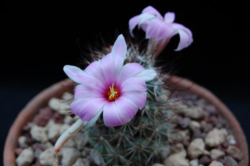 Mammillaria schumannii 8264-211