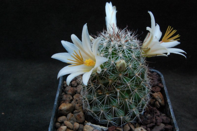 Mammillaria bullardiana 8279-211