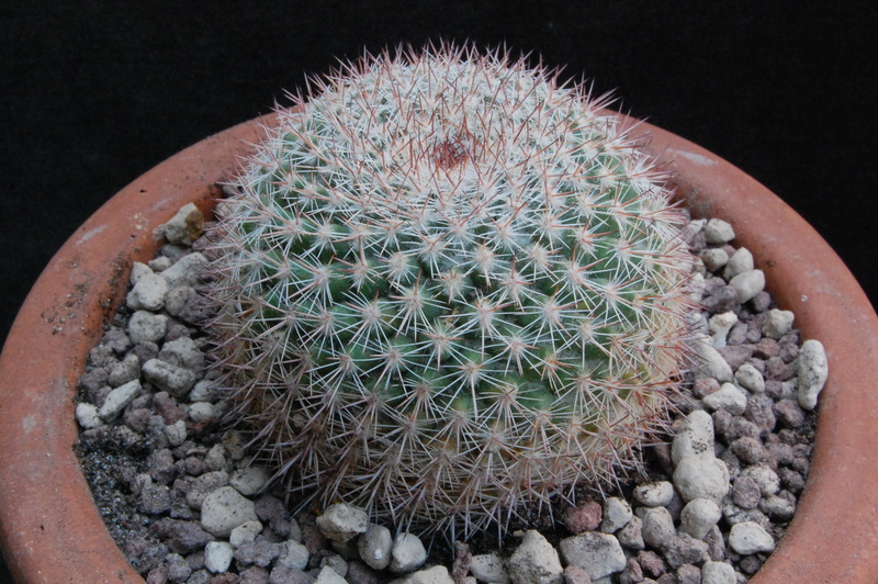 Mammillaria standleyi 8287-210