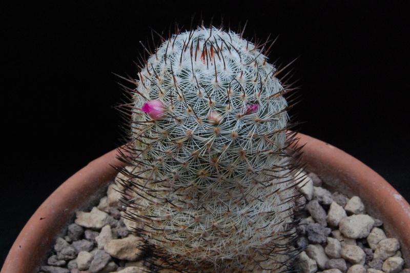 Mammillaria haageana 8333-211