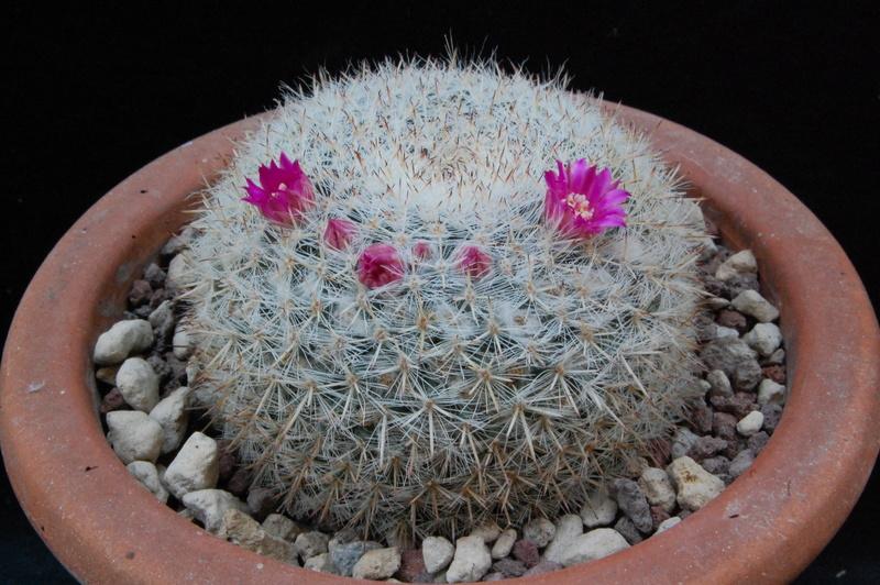 Mammillaria saetigera 8368-210