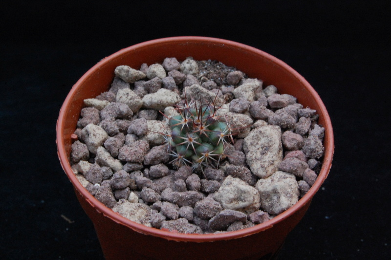 Mammillaria wagneriana 8625-210