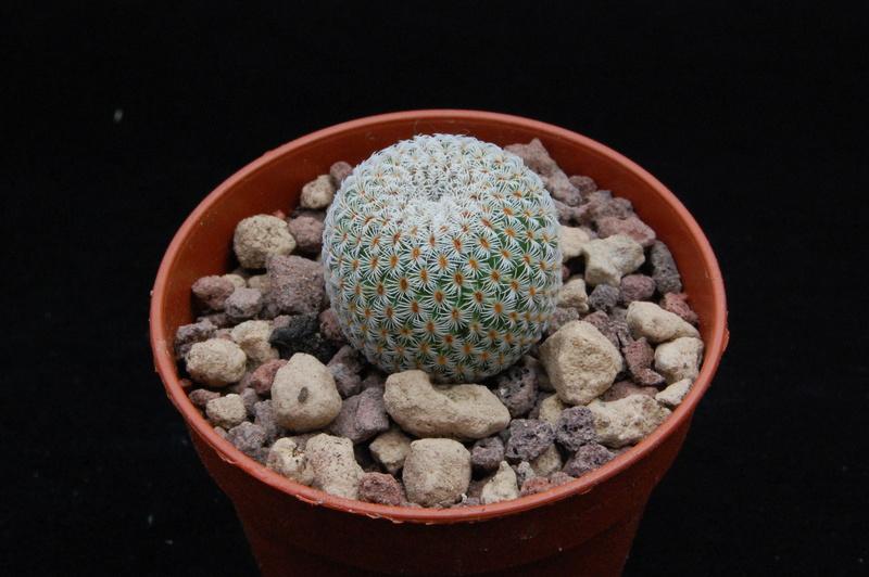 Mammillaria crucigera 8636-210