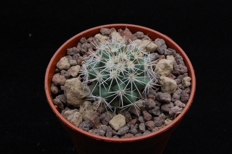 Mammillaria standleyi 8644-210
