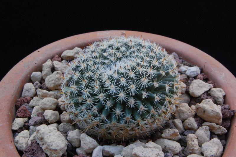 Mammillaria perbella 9285-210