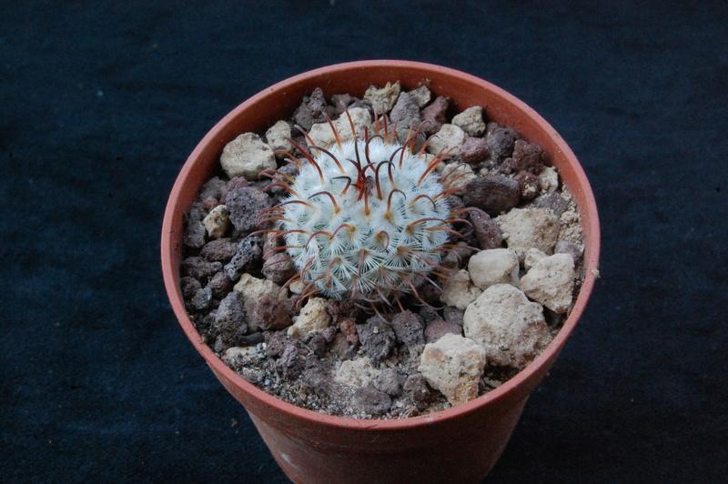 Mammillaria perezdelarosae 9297-210
