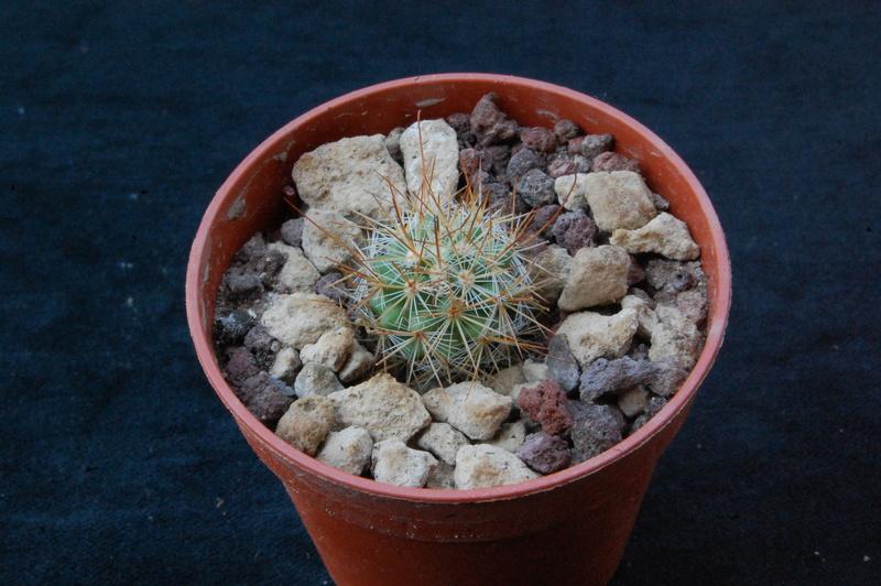 Mammillaria albrechtiana 9302-210