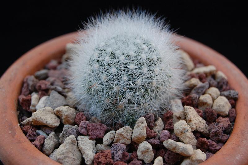Mammillaria schwarzii 9322-210