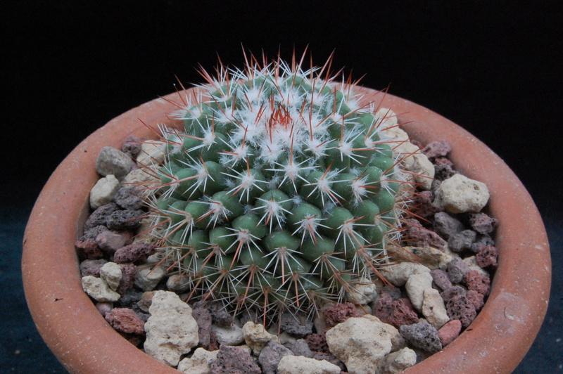 Mammillaria scrippsiana 9401-211