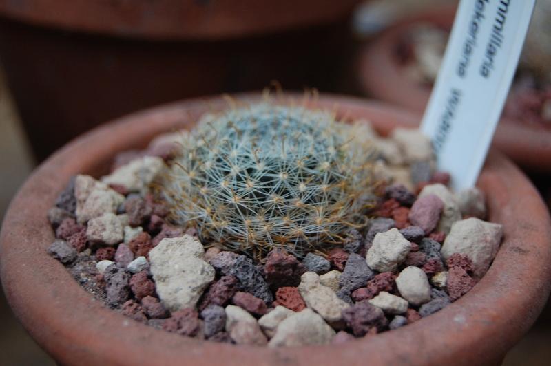 Mammillaria boedekeriana 9751-210
