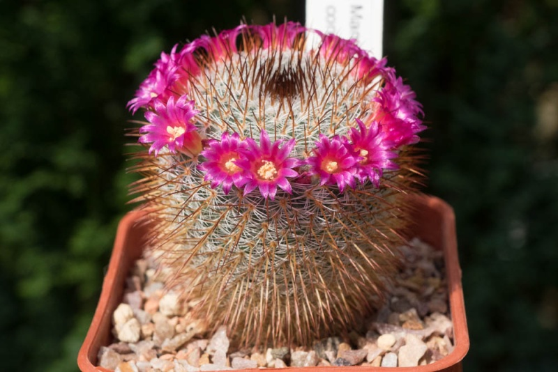 Mammillaria haageana Haagea11