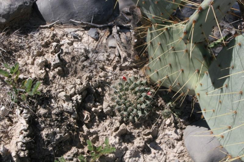 Mammillaria heyderi Img_0810