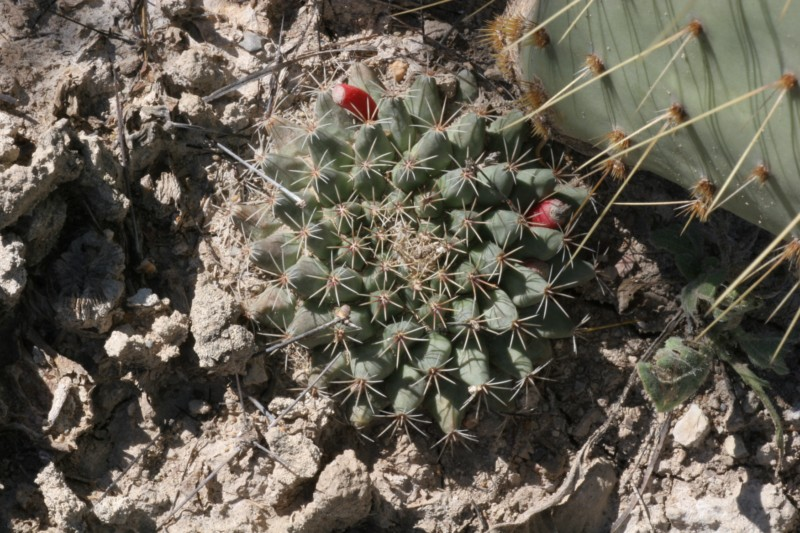Mammillaria heyderi Img_0811