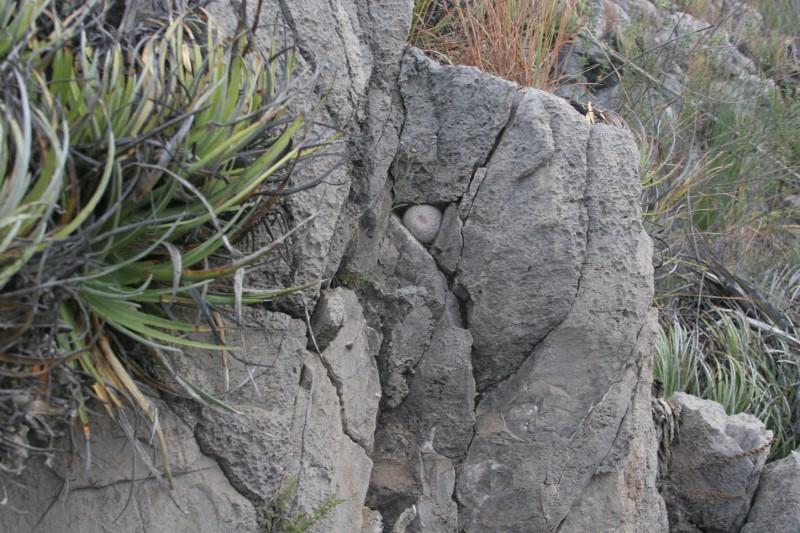 Mammillaria candida Img_3911