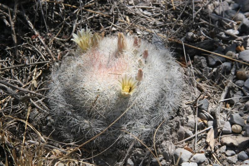 Mammillaria candida Img_5211