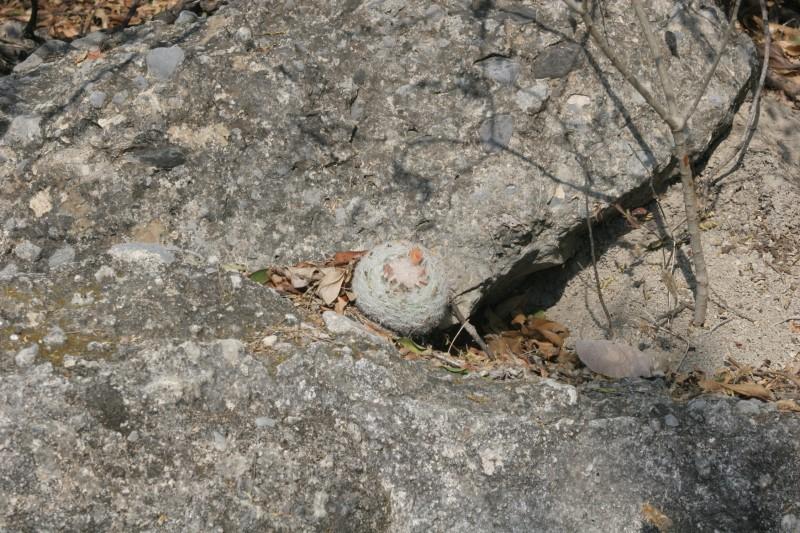 Mammillaria candida Img_5410