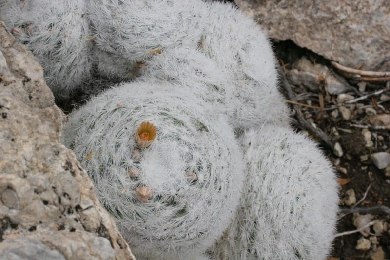 Mammillaria candida Img_7710