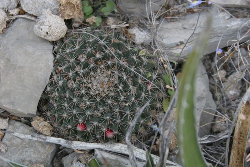 Mammillaria heyderi Img_9913