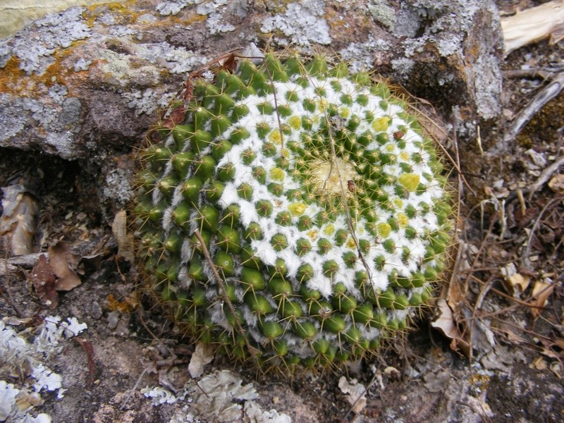 Mammillaria marksiana Mrlks10