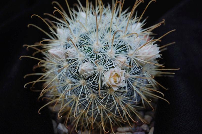 Mammillaria cowperae P3465110