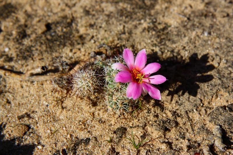 Mammillaria schumannii Schuma10