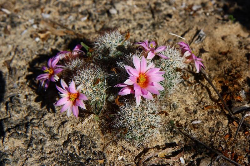 Mammillaria schumannii Schuma14
