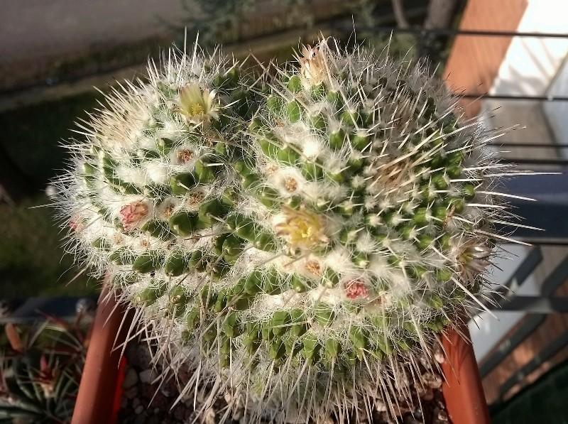 Mammillaria nagliana Sight_10