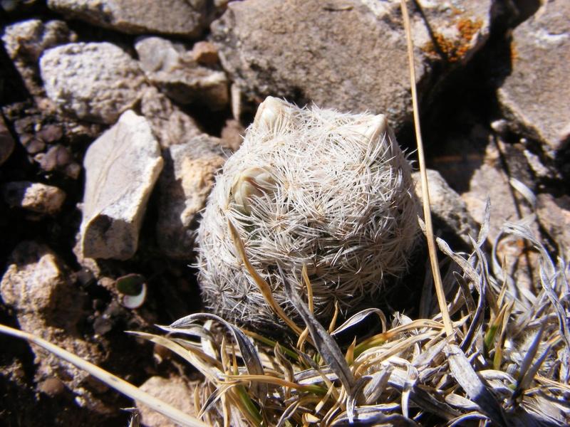 Mammillaria gasseriana Wh114_10