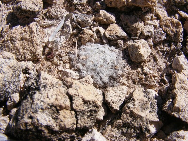 Mammillaria roemeri Wh19310