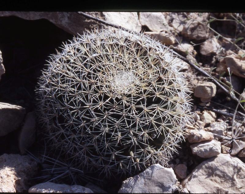 Mammillaria grusonii Wh3810