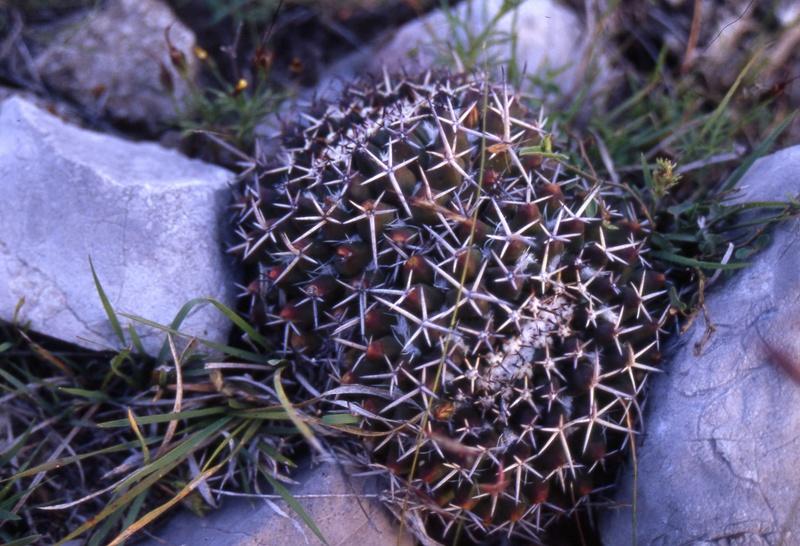 Mammillaria karwinskiana Wh_10410