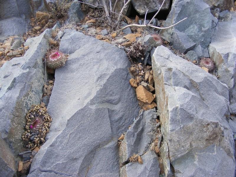 Mammillaria craigii Wh_16211