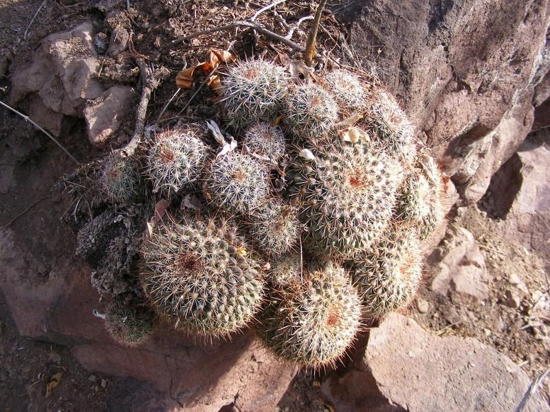 Mammillaria craigii Wh_16310