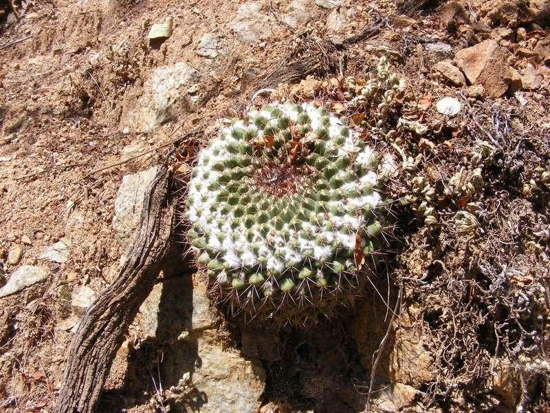 Mammillaria craigii Wh_16611