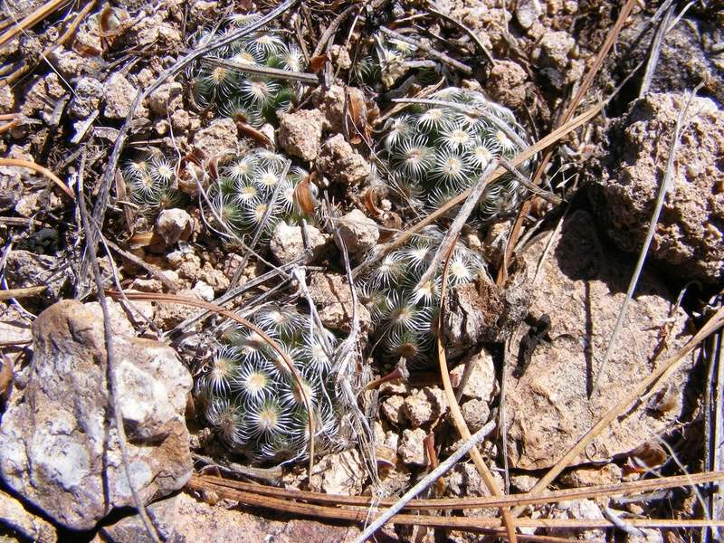 Mammillaria saboae Wh_17610