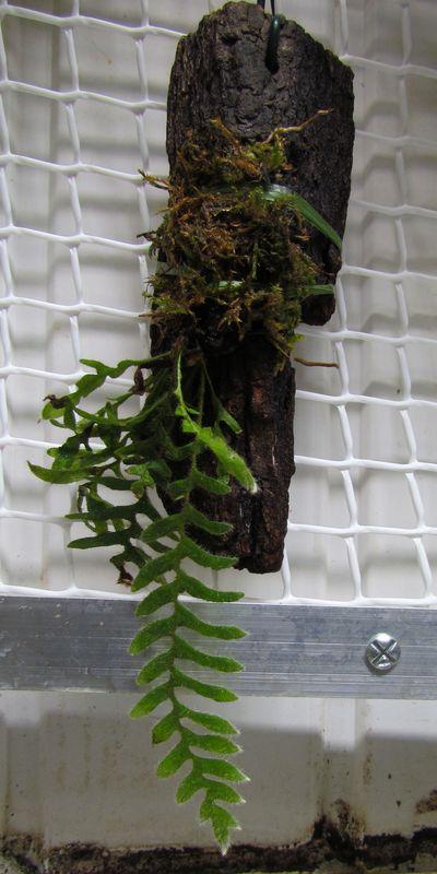 Deux nouveaux Polypodiacaea Img_0713