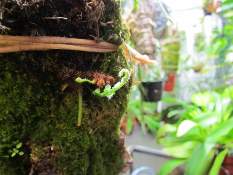 Polypodium bombycinum nouvelle photo Img_0817