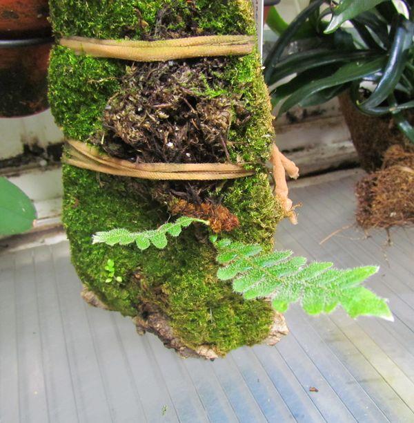 Des nouvelles de mon Polypodium bombycinum  Img_0850