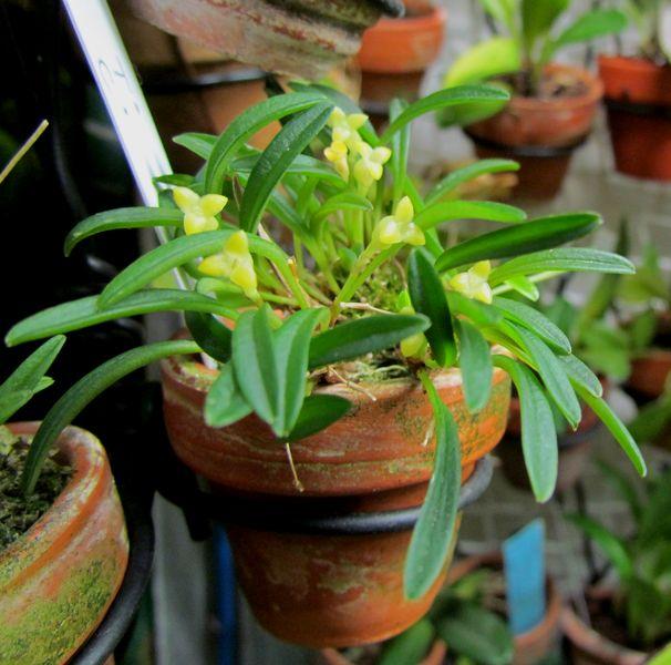 Triotosiphon bangii Img_4414