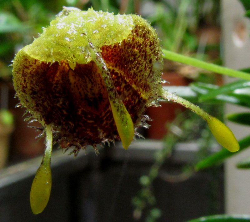 Diodonopsis erinacea  Img_4415