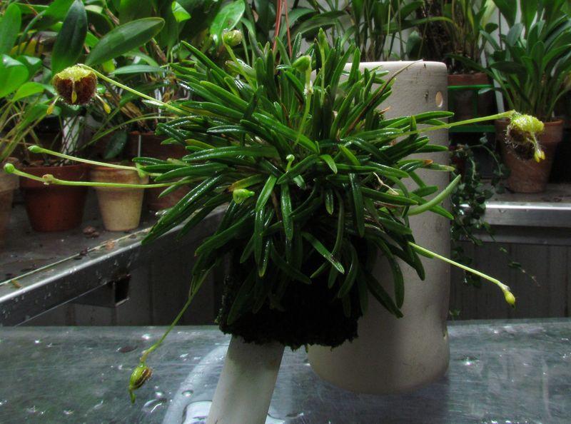 Diodonopsis erinacea  Img_4416