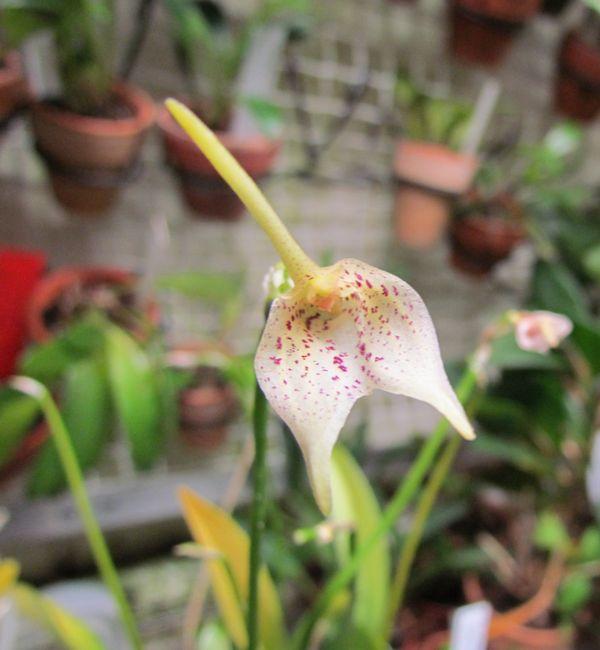Alaticaulia guttulata Img_4429
