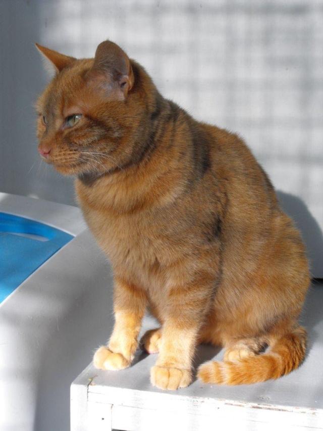 DAKOTA - Chat tigré roux  Dscf2012