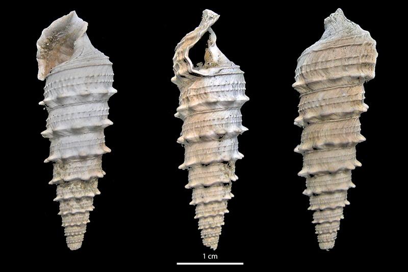 Cerithiidae - † Serratocerithium cossmanni (CHARPIAT, 1919) - (La ferme de l'Orme) 14225410