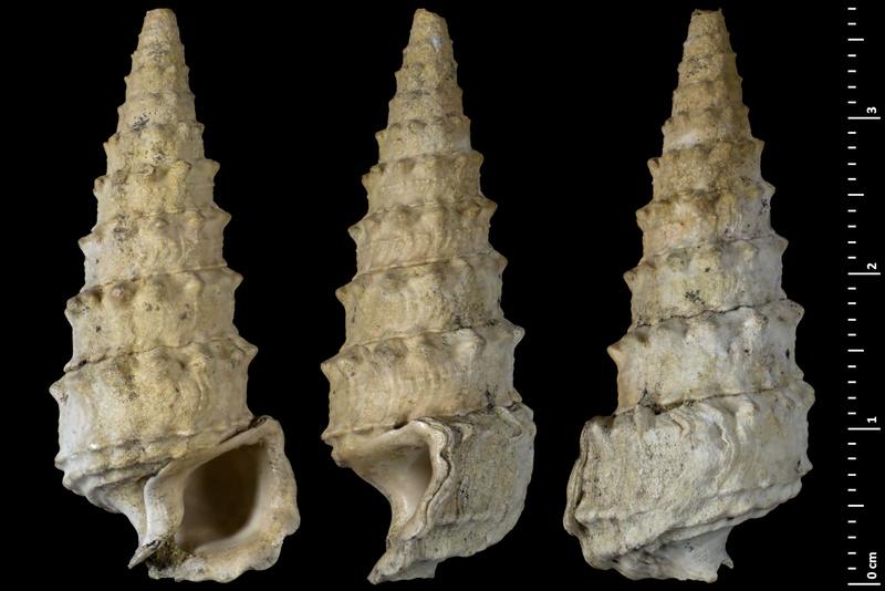 Cerithiidae - † Serratocerithium cossmanni (CHARPIAT, 1919) - (La ferme de l'Orme) 14504210
